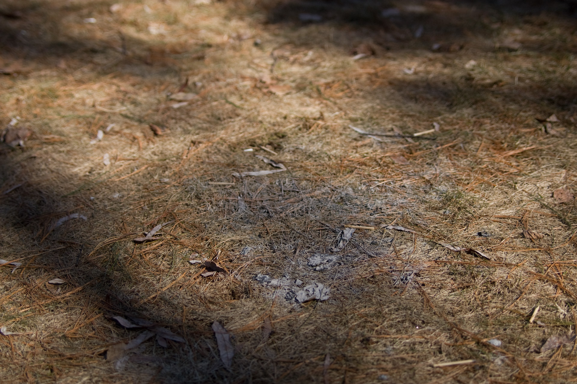 Ash spot on the ground covered with dried pine leaves.